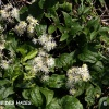 clematite-des-haies-encor-img_9265b
