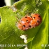 coccinelle-de-la-bryone-encor