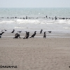 grands-cormorans-encor-img_9275b