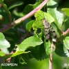 mouche-scorpion-encor-img_3005b