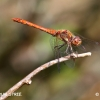 sympetrum-strie-encor-img_5268b